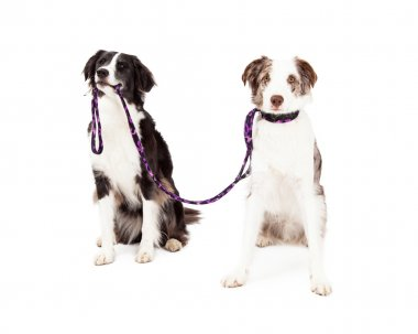 Two Border Collie Dogs Take Each Other For A Walk