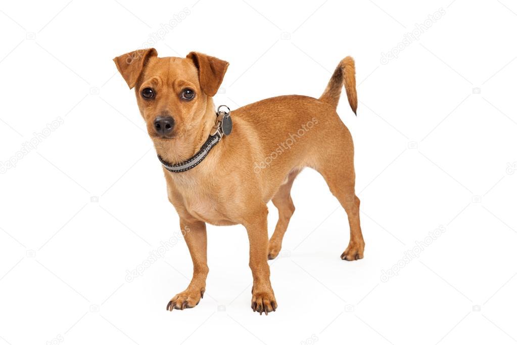Fotos Perritos Chihuahuas Chihuahua Cruza Perro De Pie Foto De