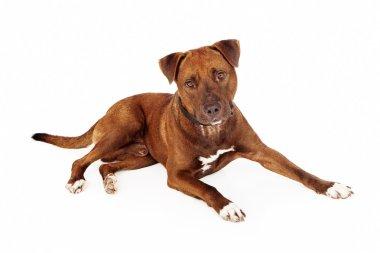 Brown Pit Bull Cross Dog