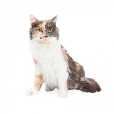 Beautiful Calico Cat Sitting