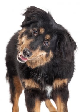 English Shepherd Cross Closeup