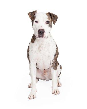 Cute Pit Bull Dog
