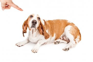 Basset Hound Dog Being Punished