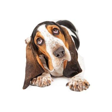 Cute Basset Puppy Tilting Heard
