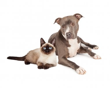 Pit Bull and Siamese Cat