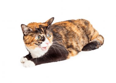 Angry Calico Cat Hissing