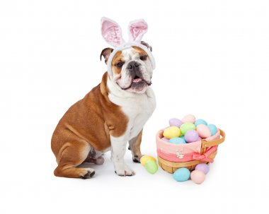 Easter Bunny English Bulldog