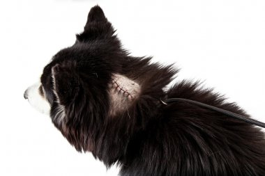 Dog with stitches  from surgery