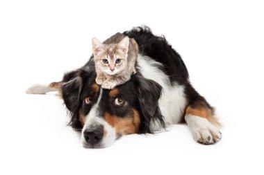 Kitten Sitting on Patient Large Dog