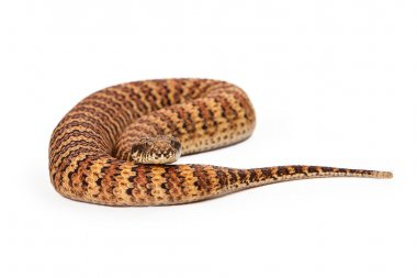 Common Death Adder Snake Coiled Up