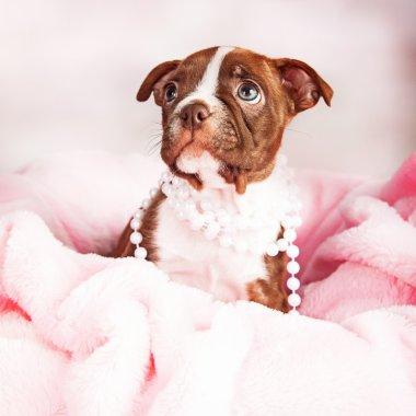 Boston terrier puppy wearing pearls