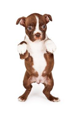 Boston Terrier puppy begging
