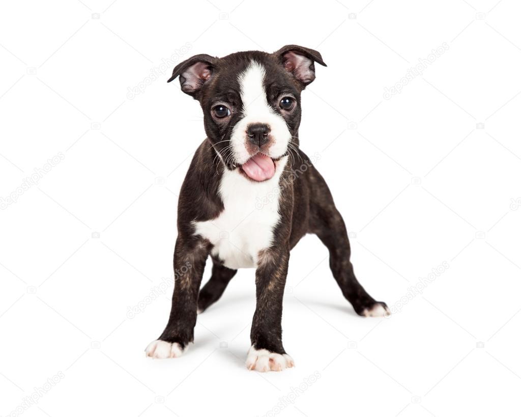 boston terrier valp