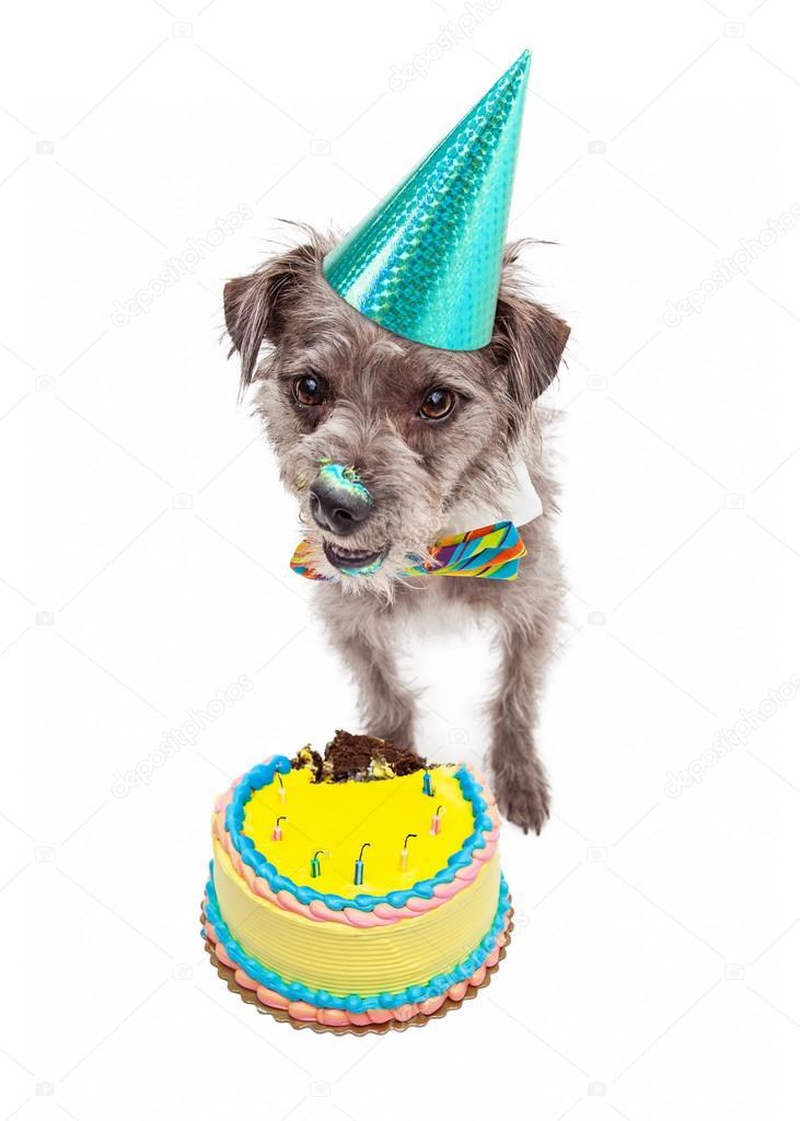 Verjaardag Hond Eten Taart Stockfoto C Adogslifephoto 73863217