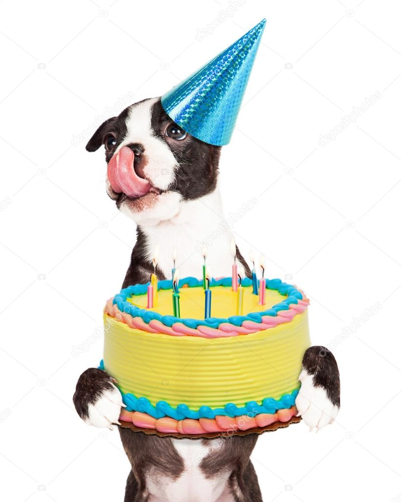 Cute Little Boston Terrier Puppy With Tongue Out Licking Lips And Carrying Birthday Cake Lit Candles Isolated On White Background Photo By