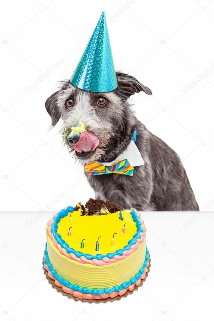 Rommelig Verjaardag Hond Eten Taart Stockfoto C Adogslifephoto