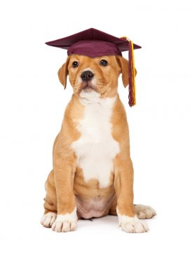 puppy wearing school graduation cap