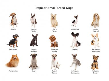 Collection of Popular Small Breed Dogs