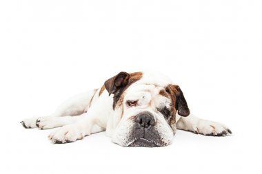 Bulldog breed dog laying down