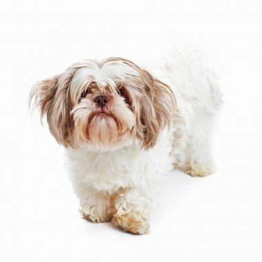 Shabby looking Shih Tzu breed dog standing looking forward isolated on white background stock vector