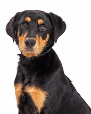 Rottweiler and Labrador Retriever mixed breed puppy