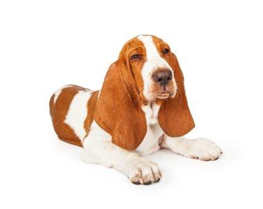 Basset Hound Dog with squinting eyes