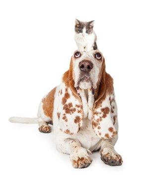 Basset Hound Dog  with kitten on his head
