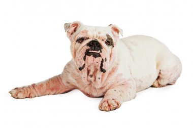 English Bulldog with severe case of Demodicosis