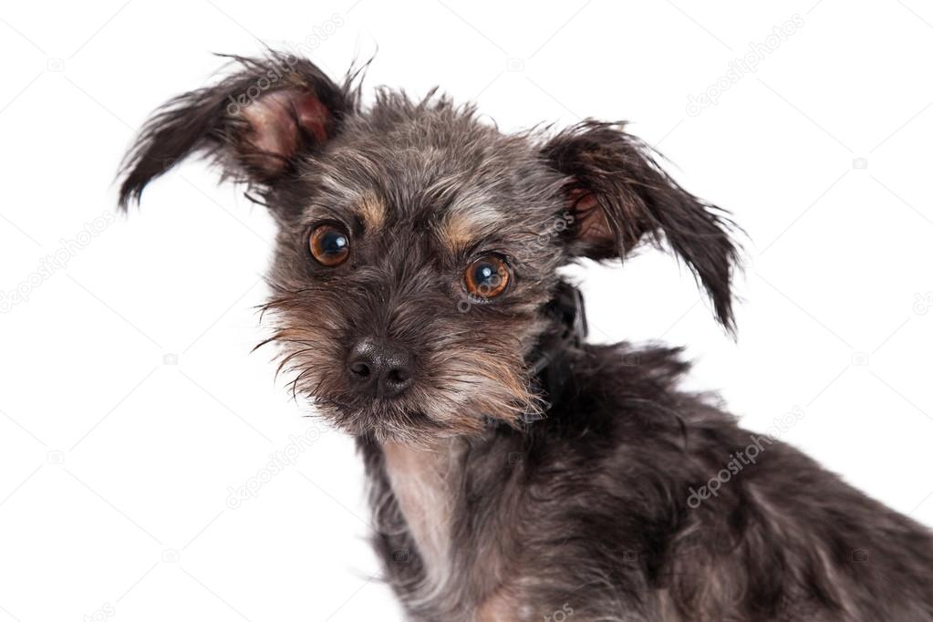Scruffy Black Dog