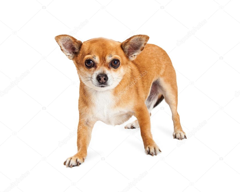 Chihuahua Mixed Breed Dog Stock Photo C Adogslifephoto 86865042