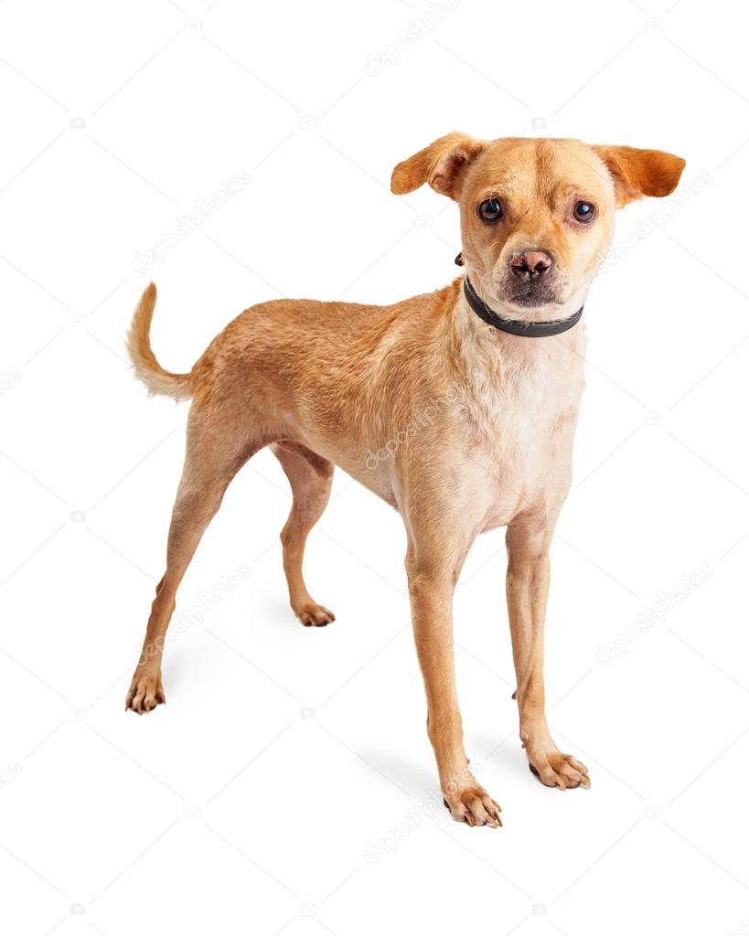 Chihuahua Mixed Breed Dog Stock Photo C Adogslifephoto 86868564