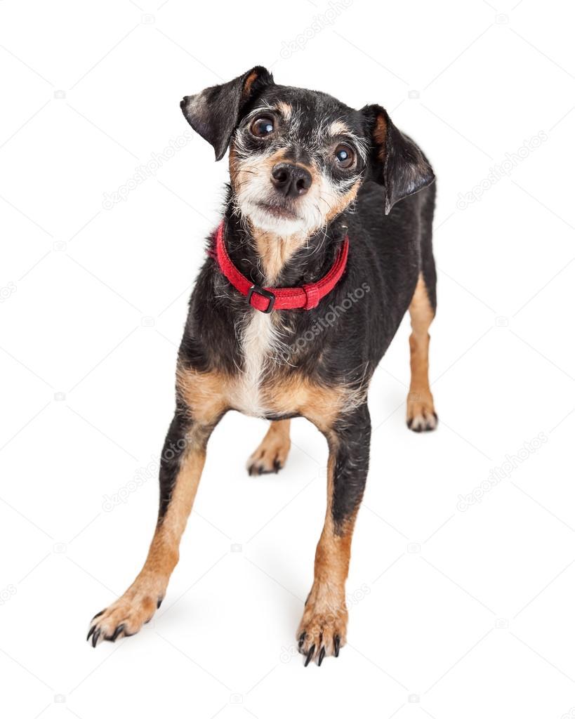 Dackel Terrier Mischling Hund — Stockfoto © adogslifephoto #86868966