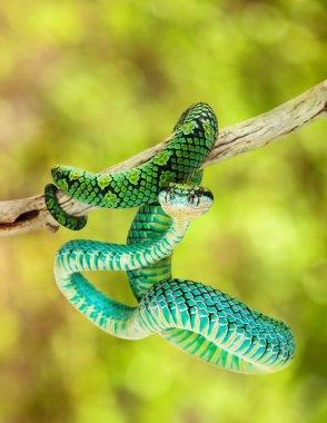 Sri Lankan Palm Viper