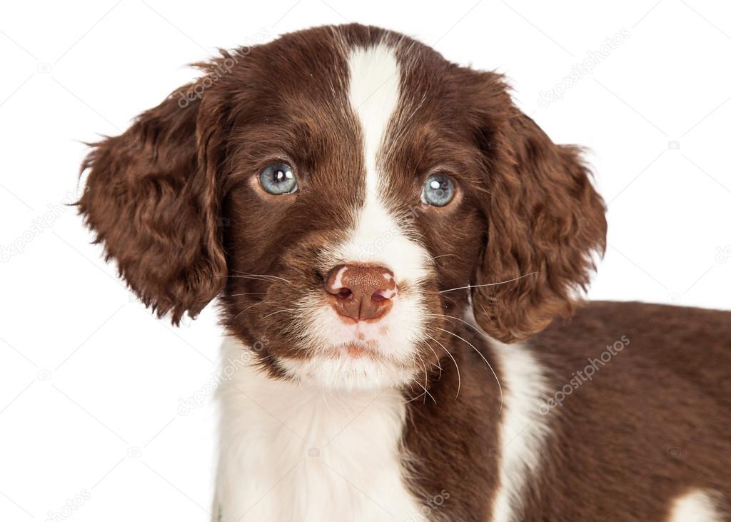 english springer spaniel puppy stock photo adogslifephoto 90059878