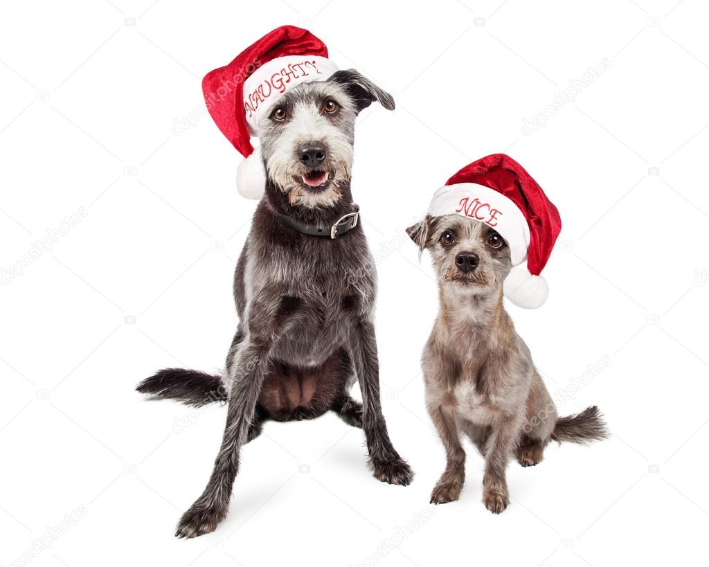 6d70af2fcd0 Two mixed breed grey color terrier crossbreed dogs of different sizes  wearing naughty and nice Santa Claus hats — Photo by adogslifephoto