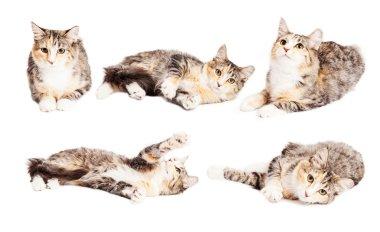cute little Calico breed kitten