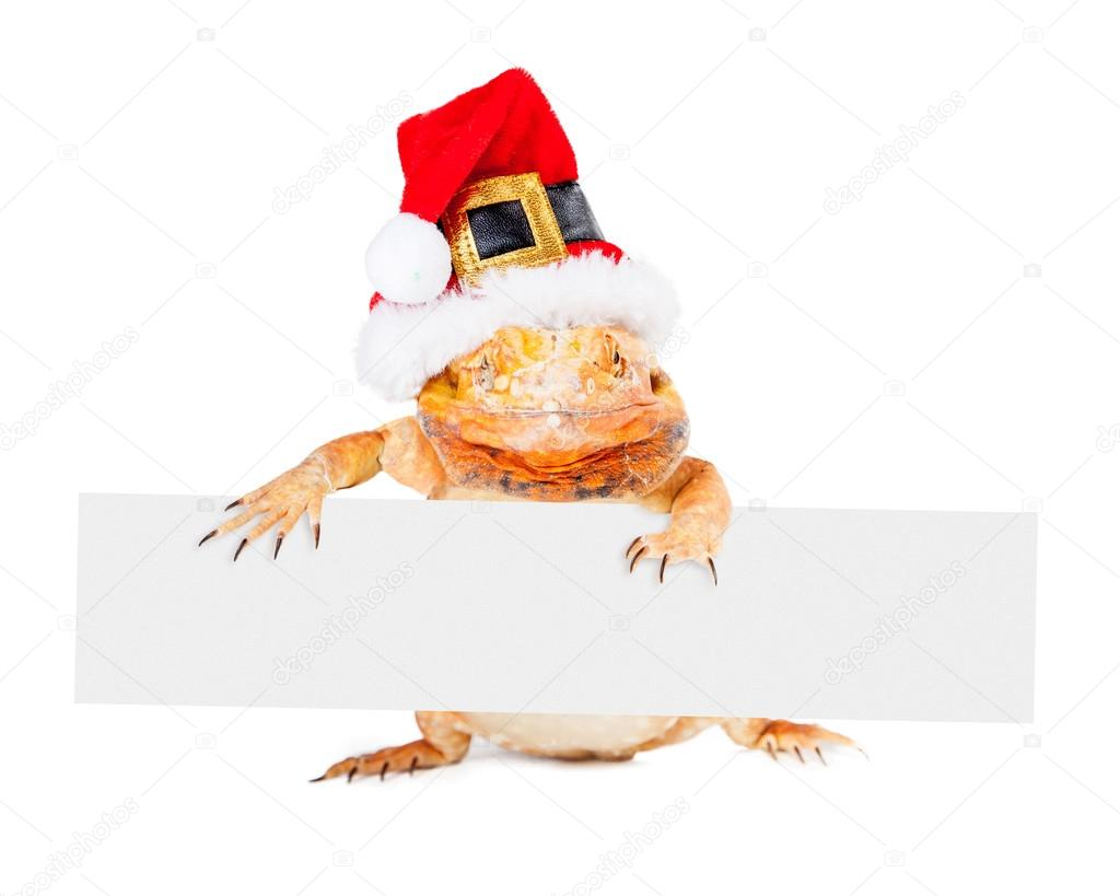 Red color bearded dragon