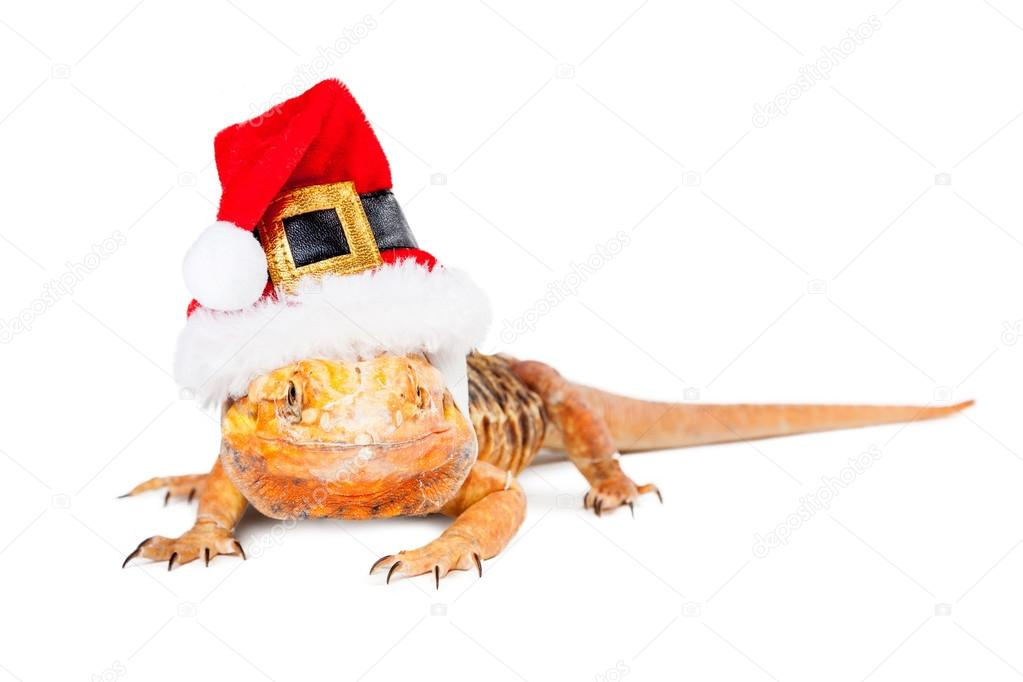 Christmas Santa Bearded Dragon