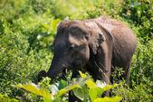 Elephant in Sri Lanka.