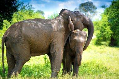 Wild Elephants in the jungle, Sri Lanka stock vector