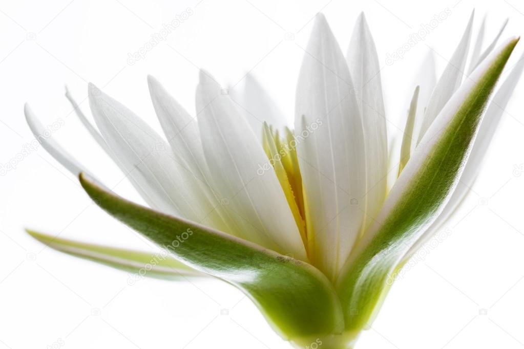 weißer lotusblume — Stockfoto © krailurkA #91447856