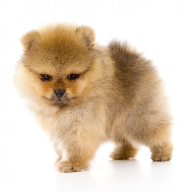 Tan Pomeranian puppy about three weeks only