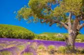 Simiane la Rotonde vesnice s poli levandule v Provence, Francie