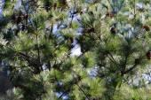 Zblízka japonské borovice červená