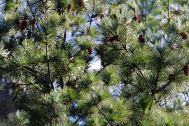 Close up of Japanese red pine