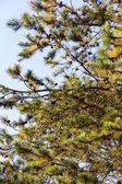 Japonská borovice červená