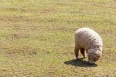 Sheep grazing in the farm