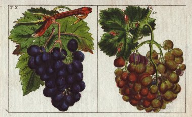 Varieties of grapes, white and blu