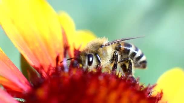 včela shromažďuje nektar z květu