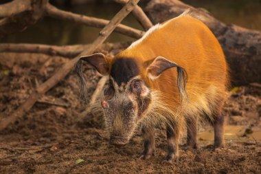 Red river hog, bush pig